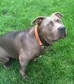 #lovepitbulls #pitbulltraining, #bestdogtrainingcocoabeach