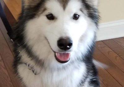 #alaskanmalamute #largedogtraining #dogsofbarkbusters