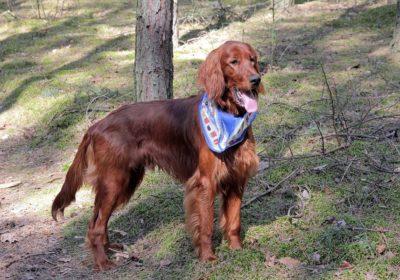 #irishsetter, largedogtraining, #bestdogtrainingcocoabeach